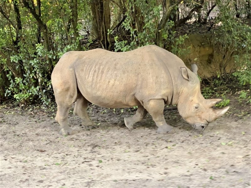 rhino on Kilimanjaro Safari